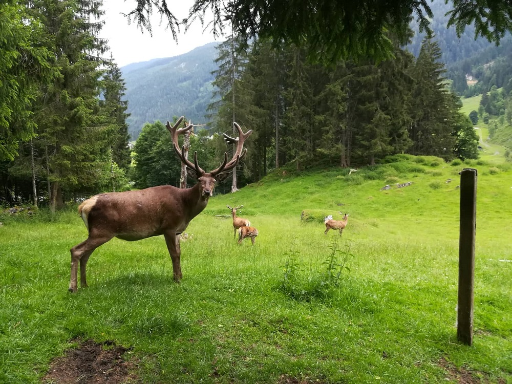 Jelen v Untertauern (fotila Kačenka Křístková)